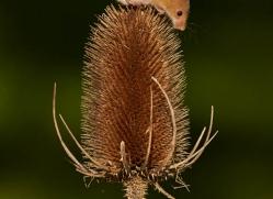 harvest-mouse-british-wildlife-2593-copyright-photographers-on-safari-com