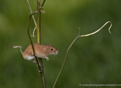 harvest-mouse-british-wildlife-2595-copyright-photographers-on-safari-com