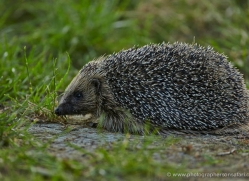 hedgehog-british-wildlife-2607-copyright-photographers-on-safari-com