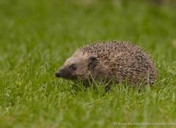 hedgehog-british-wildlife-2608-copyright-photographers-on-safari-com