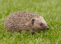 hedgehog-british-wildlife-2609-copyright-photographers-on-safari-com