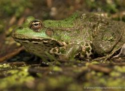 marsh-frog-british-wildlife-2692-copyright-photographers-on-safari-com