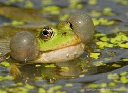 marsh-frog-british-wildlife-2693-copyright-photographers-on-safari-com