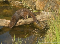 mink-british-wildlife-2676-copyright-photographers-on-safari-com