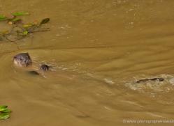 otter-british-wildlife-2610-copyright-photographers-on-safari-com