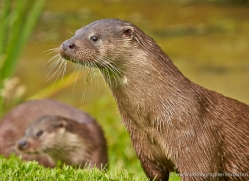 otter-british-wildlife-2611-copyright-photographers-on-safari-com