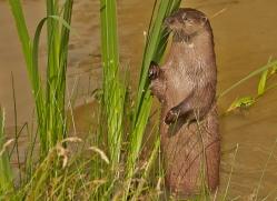 otter-british-wildlife-2613-copyright-photographers-on-safari-com