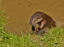 otter-british-wildlife-2616-copyright-photographers-on-safari-com