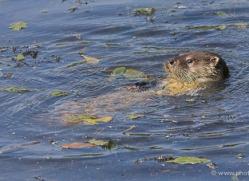 otter-british-wildlife-2620-copyright-photographers-on-safari-com