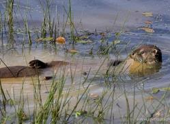 otter-british-wildlife-2623-copyright-photographers-on-safari-com