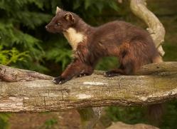 pine-marten-british-wildlife-2629-copyright-photographers-on-safari-com