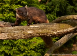 pine-marten-british-wildlife-2630-copyright-photographers-on-safari-com