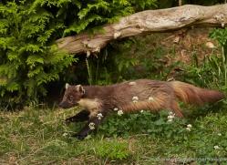 pine-marten-british-wildlife-2631-copyright-photographers-on-safari-com