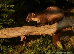 pine-marten-british-wildlife-2632-copyright-photographers-on-safari-com
