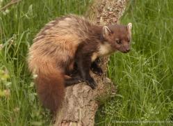 pine-marten-british-wildlife-2668-copyright-photographers-on-safari-com