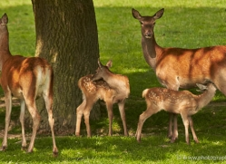 red-deer-british-wildlife-2681-copyright-photographers-on-safari-com