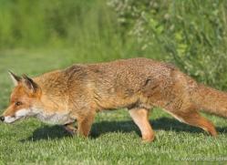 red-fox-british-wildlife-2712-copyright-photographers-on-safari-com