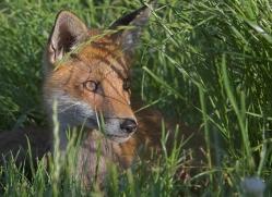 red-fox-british-wildlife-2713-copyright-photographers-on-safari-com