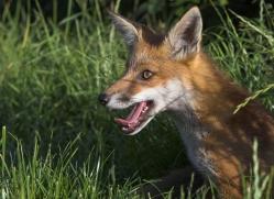 red-fox-british-wildlife-2714-copyright-photographers-on-safari-com