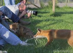 red-fox-british-wildlife-2715-copyright-photographers-on-safari-com