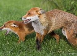 red-fox-british-wildlife-2716-copyright-photographers-on-safari-com