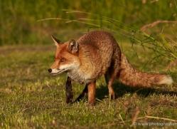 red-fox-british-wildlife-2720-copyright-photographers-on-safari-com