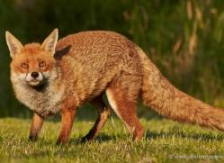 red-fox-british-wildlife-2721-copyright-photographers-on-safari-com