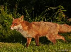 red-fox-british-wildlife-2722-copyright-photographers-on-safari-com