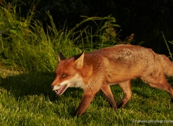 red-fox-british-wildlife-2723-copyright-photographers-on-safari-com