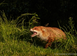 red-fox-british-wildlife-2724-copyright-photographers-on-safari-com