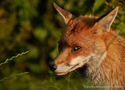 red-fox-british-wildlife-2726-copyright-photographers-on-safari-com