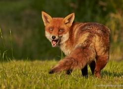 red-fox-british-wildlife-2728-copyright-photographers-on-safari-com