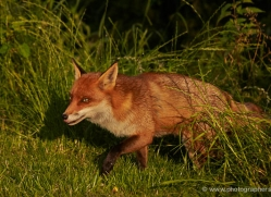 red-fox-british-wildlife-2731-copyright-photographers-on-safari-com