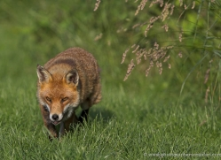 red-fox-british-wildlife-2733-copyright-photographers-on-safari-com