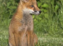 red-fox-cub-british-wildlife-2702-copyright-photographers-on-safari-com