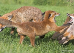 red-fox-cub-british-wildlife-2705-copyright-photographers-on-safari-com