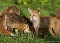 red-fox-cub-british-wildlife-2707-copyright-photographers-on-safari-com
