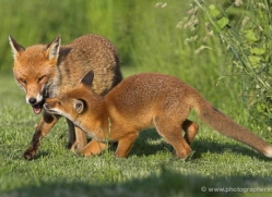 red-fox-cub-british-wildlife-2708-copyright-photographers-on-safari-com