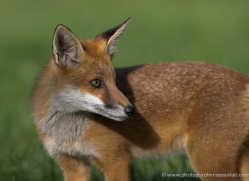 red-fox-cub-british-wildlife-2710-copyright-photographers-on-safari-com