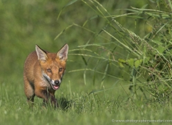 red-fox-cub-british-wildlife-2711-copyright-photographers-on-safari-com