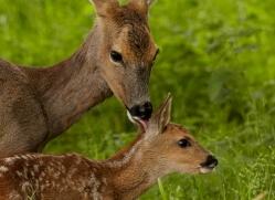 roe-deer-british-wildlife-2697-copyright-photographers-on-safari-com