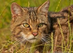 scottish-wildcat-british-wildlife-2635-copyright-photographers-on-safari-com