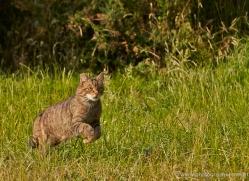 scottish-wildcat-british-wildlife-2637-copyright-photographers-on-safari-com