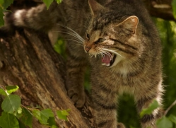 scottish-wildcat-british-wildlife-2638-copyright-photographers-on-safari-com