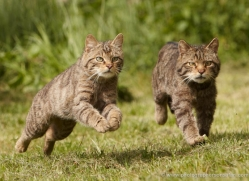 scottish-wildcat-british-wildlife-2639-copyright-photographers-on-safari-com
