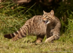scottish-wildcat-british-wildlife-2640-copyright-photographers-on-safari-com