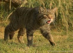 scottish-wildcat-british-wildlife-2642-copyright-photographers-on-safari-com