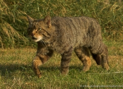 scottish-wildcat-british-wildlife-2644-copyright-photographers-on-safari-com