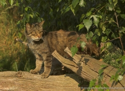 scottish-wildcat-british-wildlife-2645-copyright-photographers-on-safari-com