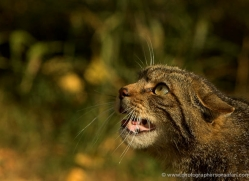 scottish-wildcat-british-wildlife-2646-copyright-photographers-on-safari-com